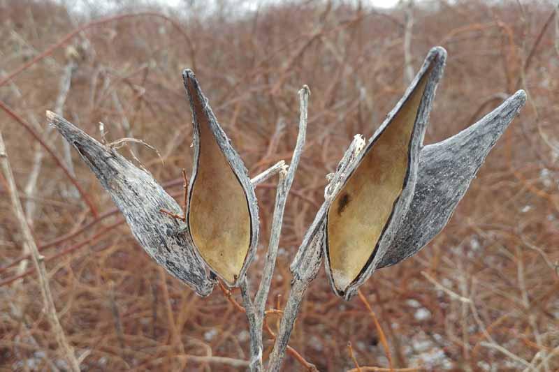 Una imagen horizontal de primer plano de las cáscaras de vaina de semillas de Asclepias vacías que cuelgan del tallo en el invernadero, en la foto contra un fondo de enfoque suave.
