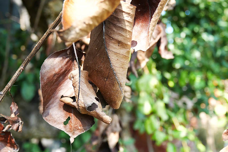 A close up horizontal image of the leaves of a pear tree infected with fire blight which has turned them brown, pictured in light sunshine on a soft focus background.