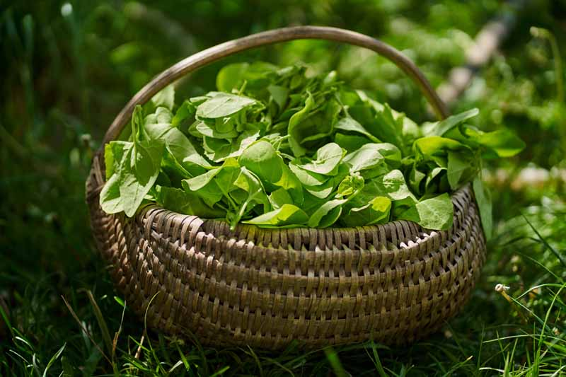 A close up horizontal image of a wicker basket filled with freshly harvested leaves set on the ground and pictured on a soft focus background.