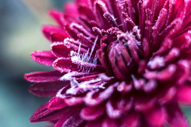 A close up horizontal image of a purple chrysanthemum flower covered in frost pictured on a soft focus background.