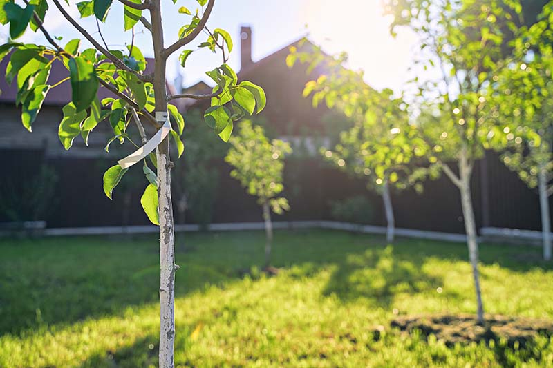 A horizontal image showing newly planted pear tree saplings pictured in filtered evening light with a house in soft focus in the background.