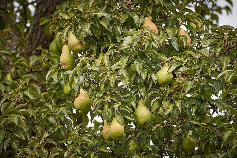 A close up horizontal image of a large pear tree laden with fruit that's almost ready to harvest, with foliage in soft focus in the background.