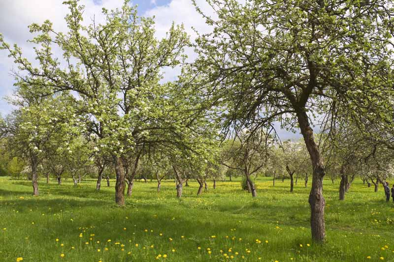 A horizontal image of an orchard of apple and pear trees laden with fruit with blue sky and clouds in the background.