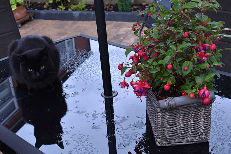 A close up horizontal image of a potted plant in a wicker basket placed on a patio table with a black cat to the left of the frame.