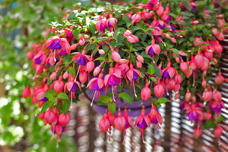 A close up horizontal image of a hanging basket with bright red, pink, and purple flowers spilling over the side.