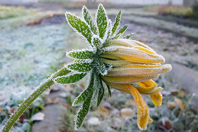 A close up horizontal image of a yellow flower covered in frost pictured on a soft focus background.