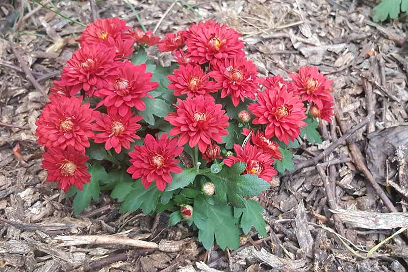 A close up horizontal image of a small chrysanthemum with bright red flowers growing in the garden surrounded by mulch.