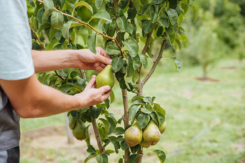 A close up horizontal image of a gardener inspecting the fruit on a Pyrus communis tree, pictured on a soft focus background.