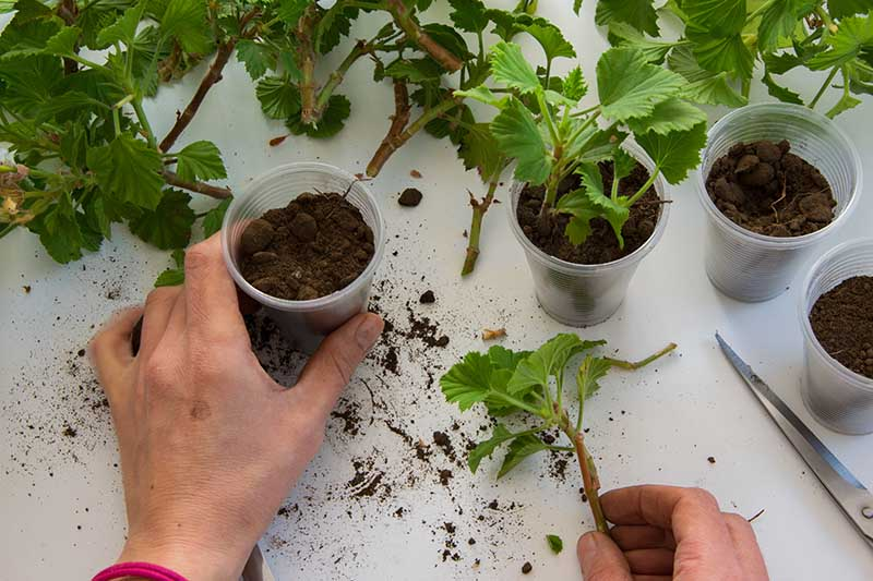 A close up horizontal image of hands demonstrating how to plant stem cuttings in small plastic pots.