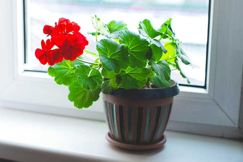 A close up horizontal image of a potted Pelargonium x hortorum growing indoors on a sunny windowsill.