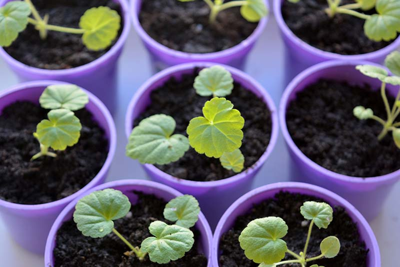 A close up horizontal image of geranium seedlings growing in small purple pots.