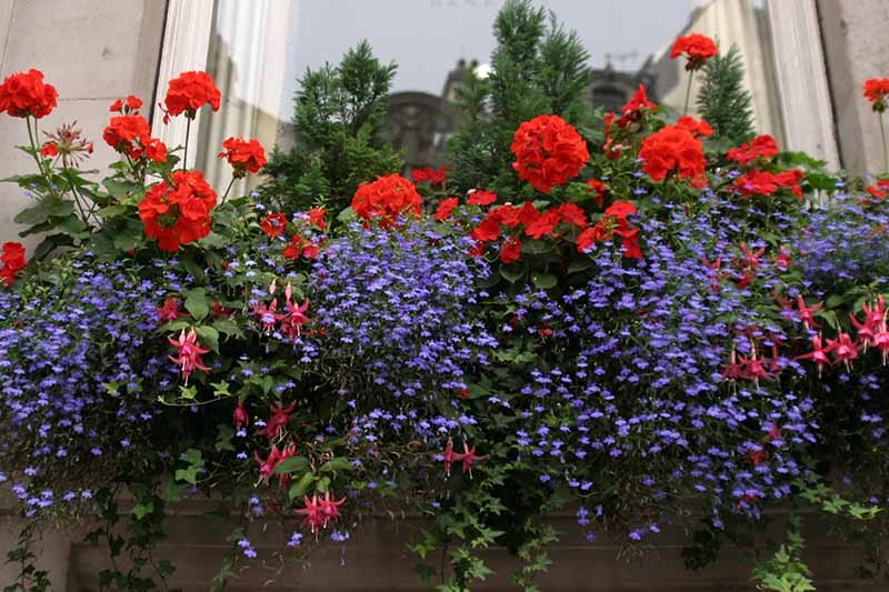 A close up horizontal image of a vibrant window box planted with fuchsia, geraniums, and purple flowers.
