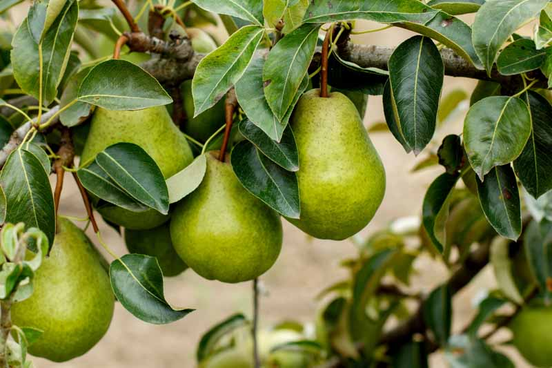 A close up horizontal image of green Pyrus communis fruits hanging from the branch of the tree, surrounded by foliage and pictured on a soft focus background.