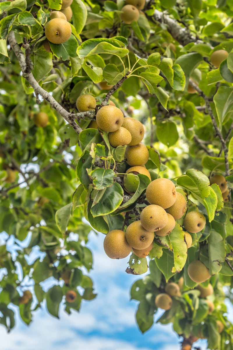 A close up vertical image of an Asian pear tree laden with ripe fruit, pictured in light sunshine with blue sky in the background.