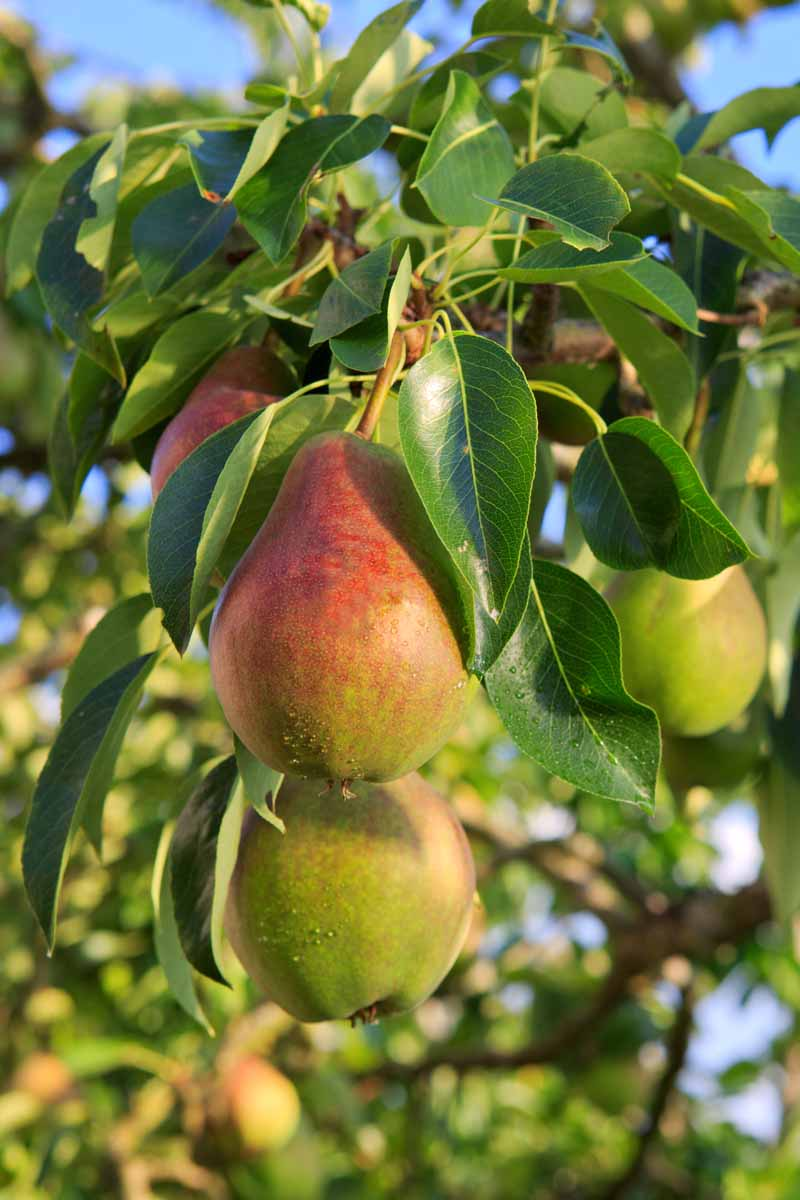 A vertical close up picture of pears on a mature tree, almost ready to harvest, pictured in light sunshine with blue sky in the background.