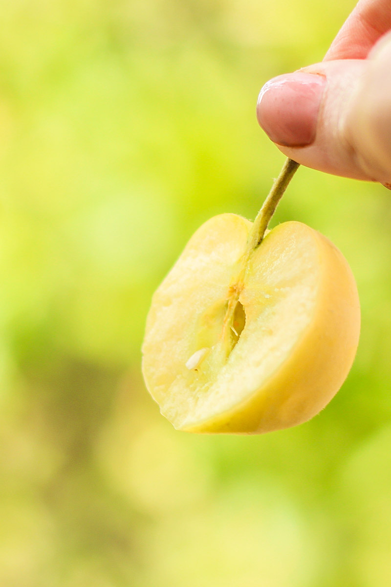 A close up vertical image of a hand from the right of the frame holding by its stem a fruit that has been cut in half, pictured in light sunshine on a green soft focus background.