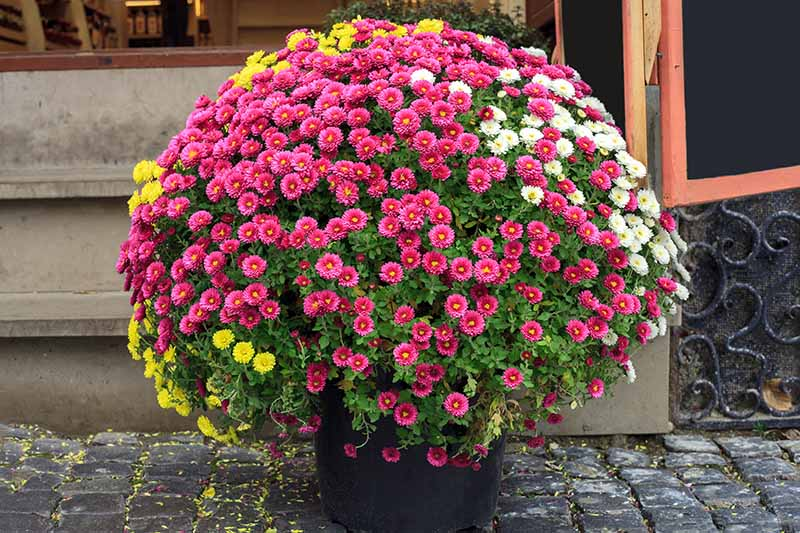A close up horizontal image of a large chrysanthemum plant growing in a container on a front porch.