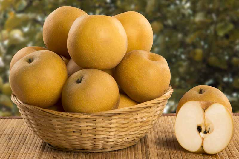 A close up horizontal image of a wicker basket filled with freshly harvested Pyrus pyrifolia fruits. To the right of the frame is a fruit sliced in half and set on a wooden surface.