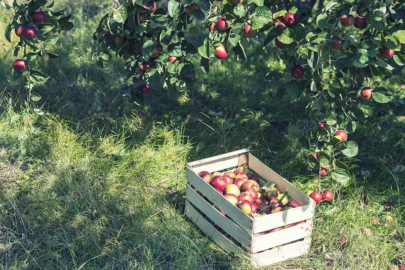 A close up horizontal image of a box containing freshly picked fruit set on the ground with trees in soft focus in the background.