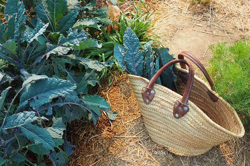 A close up horizontal image of a small wicker basket with freshly harvested dinosaur kale set on the ground beside a sunken garden bed.
