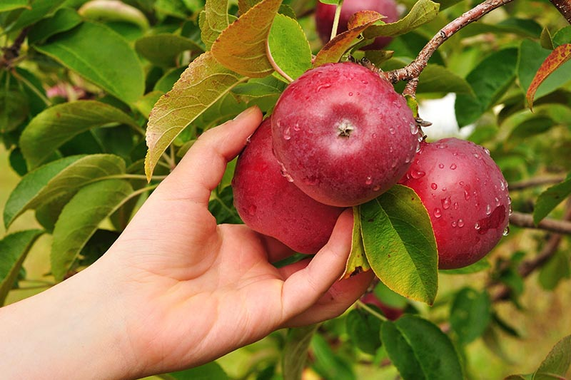 A close up horizontal image of a hand from the left of the frame holding an apple that is one of a cluster to check whether it is ready for picking. In the background is foliage in soft focus.