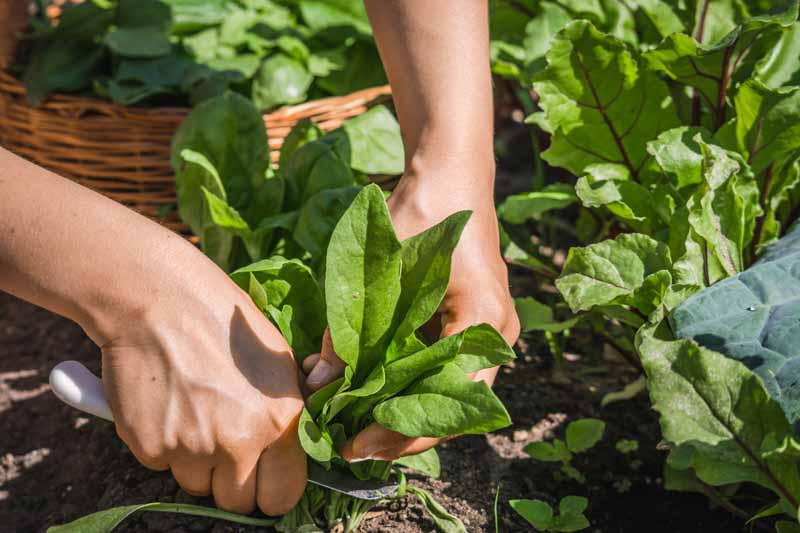 A close up horizontal image of two hands with a knife harvesting leafy greens from the backyard garden pictured in bright sunshine.