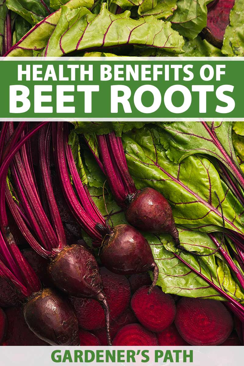 A close up vertical image of freshly harvested whole and sliced beetroots with greens still attached. To the top and bottom of the frame is green and white printed text.