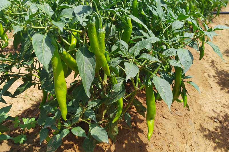 A close up horizontal image of bright green peppers growing in the summer garden pictured in bright sunshine.