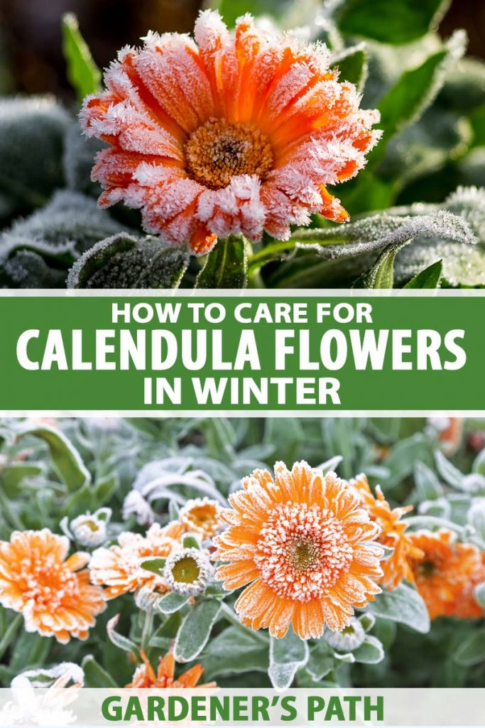 A vertical collage of two images showing bright orange flowers surrounded by foliage and covered in a light dusting of frost. To the center and bottom of the frame is green and white printed text.
