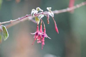 How to Prepare Your Fuchsia Plants for Winter