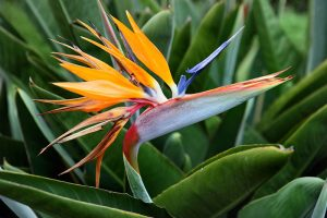 How to Grow Bird of Paradise: a Stunning Easy-Care Perennial
