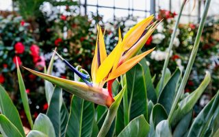 A close up horizontal image of a bright Strelizia reginae growing in a large indoor garden.