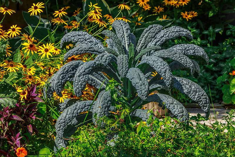 A close up horizontal image of a large dinosaur kale plant growing in the garden with a variety of shrubs and flowers in the background, pictured in bright sunshine.