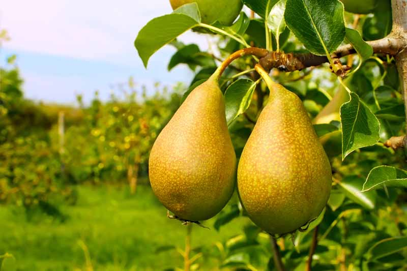 How to Grow Fruiting Pear Trees