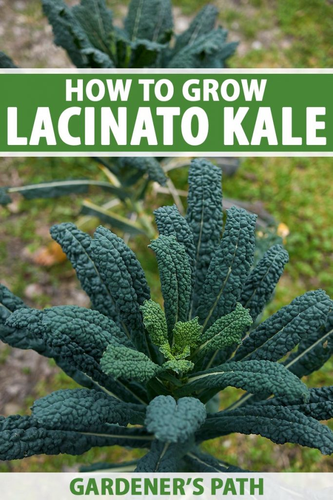 A vertical image of large dinosaur kale plants growing in the garden pictured on a soft focus background. To the top and bottom of the frame is green and white printed text.
