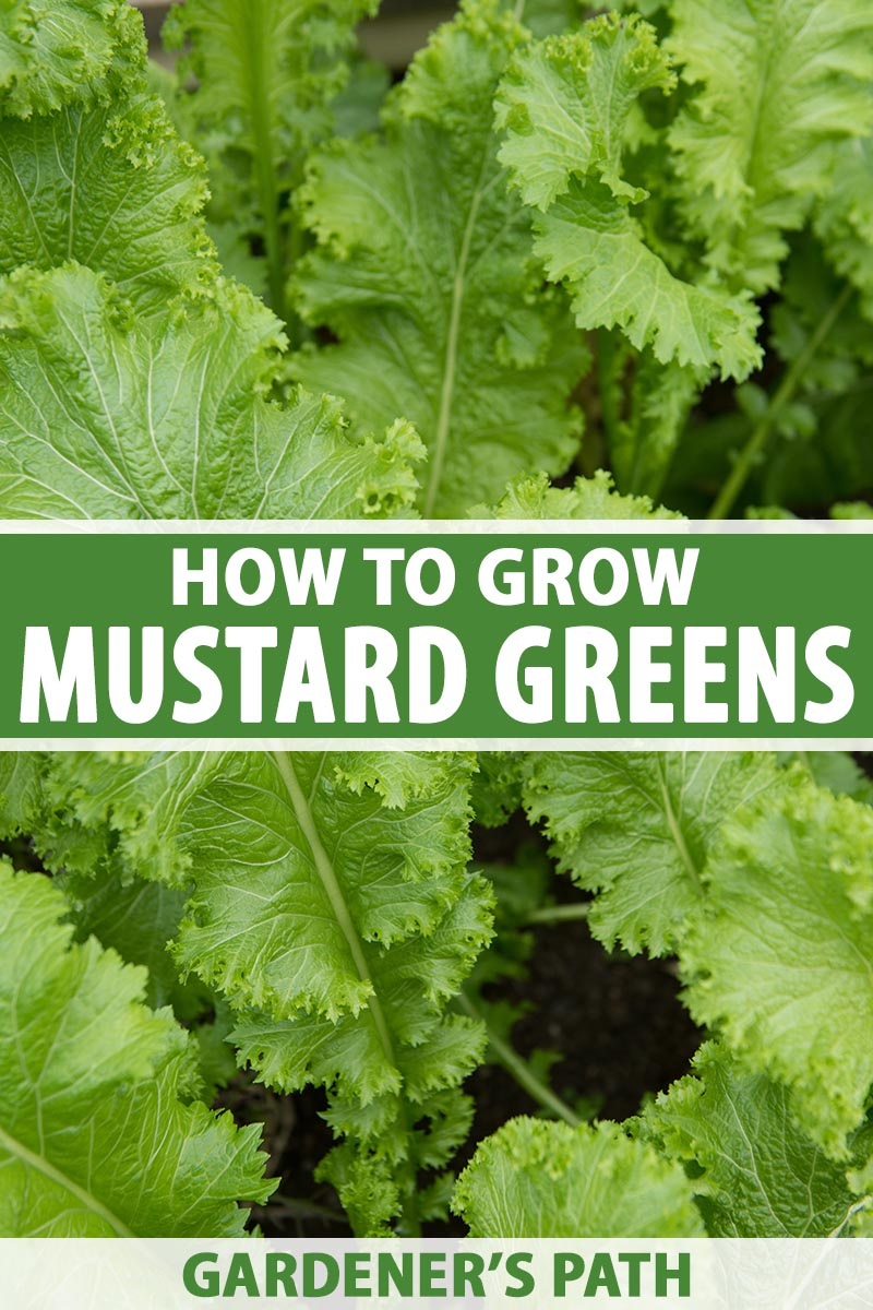 A close up vertical image of mustard greens growing in the garden pictured on a soft focus background. To the center and bottom of the frame is green and white printed text.