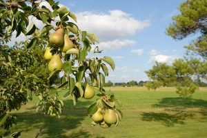 How to Propagate Pear Trees from Cuttings