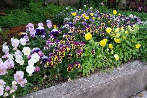Tips for Growing Winter Pansies