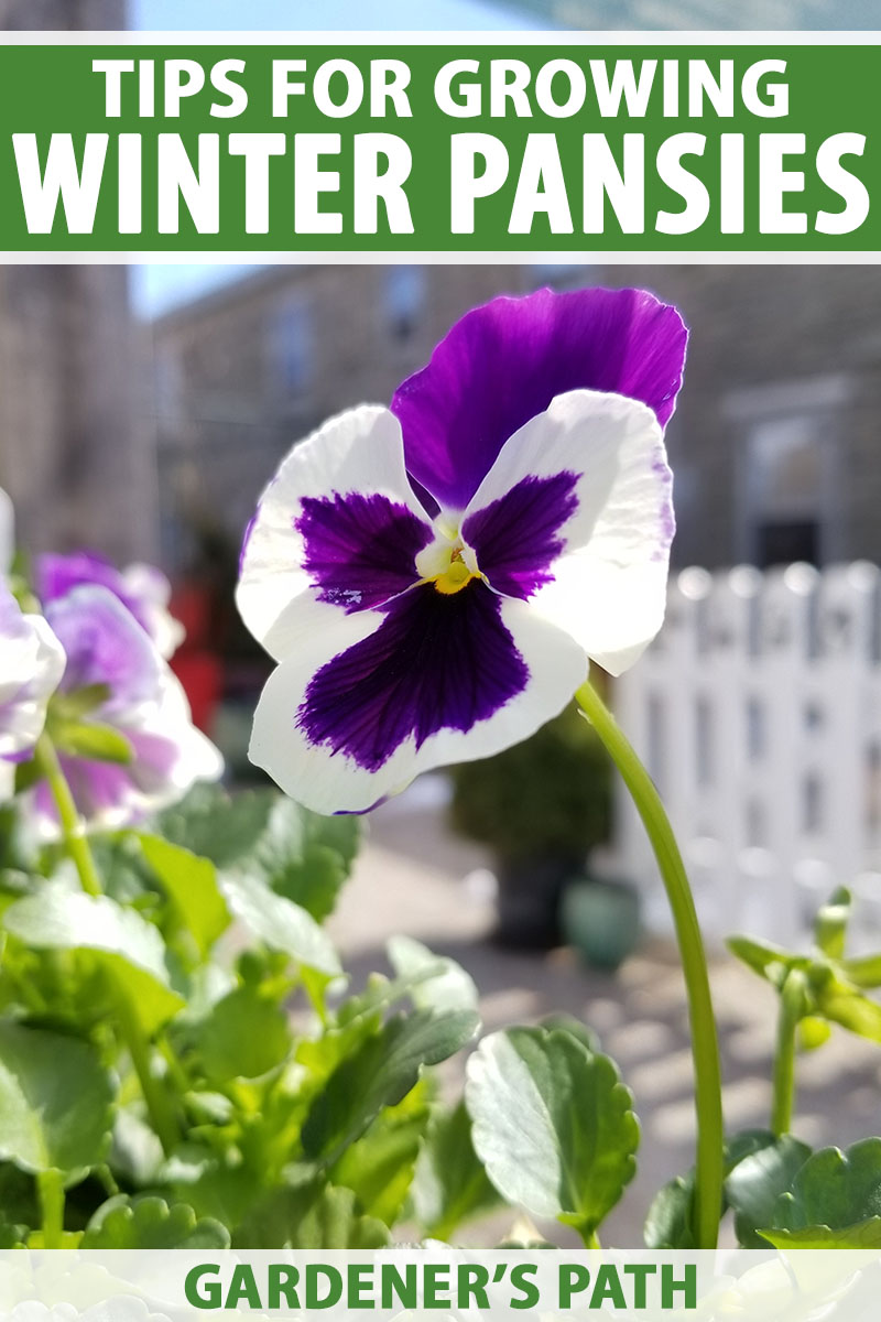 A close up vertical image of a purple and white flower growing in the garden pictured in bright sunshine with a fence in soft focus in the background. To the top and bottom of the frame is green and white printed text.