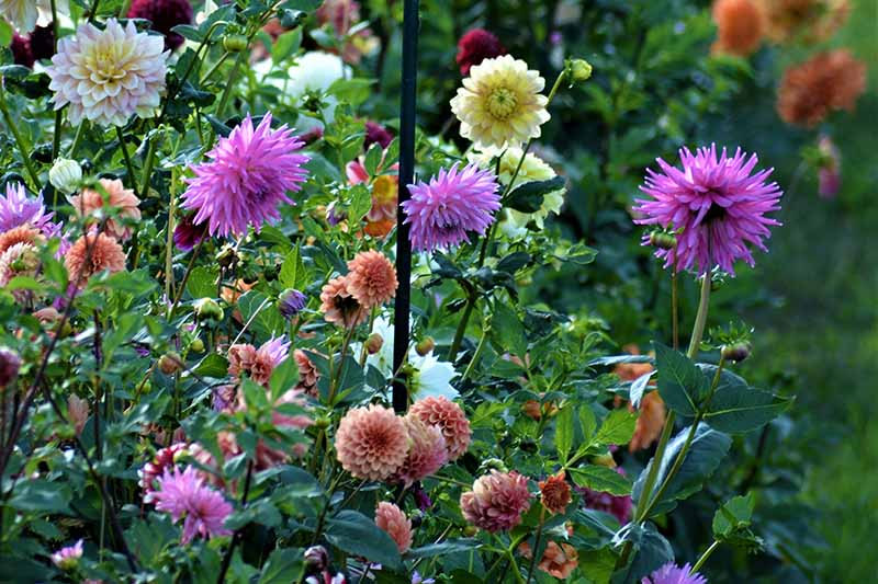 A close up horizontal image of a variety of dahlia flowers in a garden border pictured in light sunshine on a soft focus background.