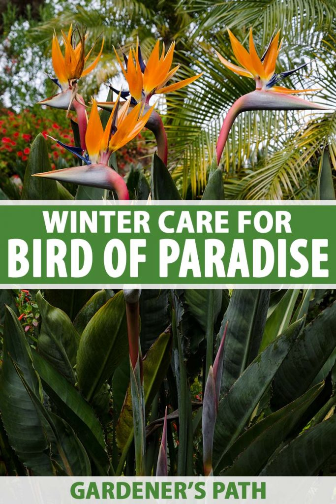 A vertical close up image of the dramatic orange flowers of the bird of paradise plant growing in the garden with palm trees in soft focus in the background. To the center and bottom of the frame is green and white printed text.