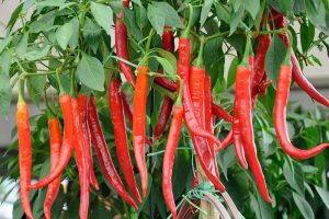 How to Overwinter Hot Pepper Plants