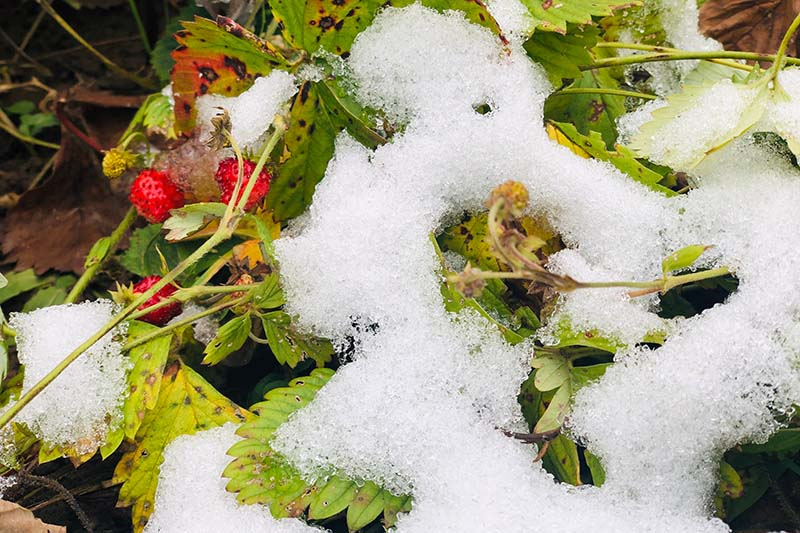A close up horizontal image of a strawberry plant growing in the garden under a thin layer of snow.