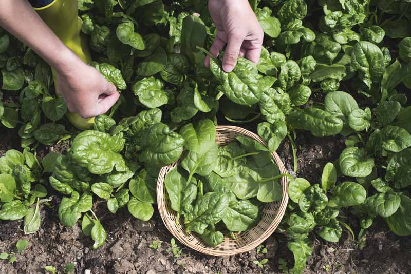 A close up horizontal image of two hands picking baby greens from the garden and placing them in a small wicker basket.