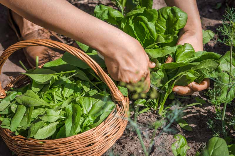 A close up horizontal image of two hands from the left of the frame cutting leafy green vegetables from the garden.