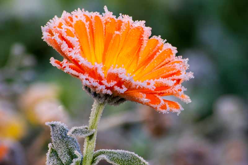 A close up horizontal image of a bright orange flower covered in frost pictured on a soft focus background.