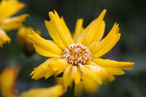 How to Prepare Coreopsis for Winter