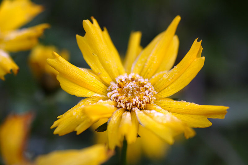 A close up horizontal image of a bright yellow tickseed flower covered in a light dusting of frost pictured on a dark soft focus background.