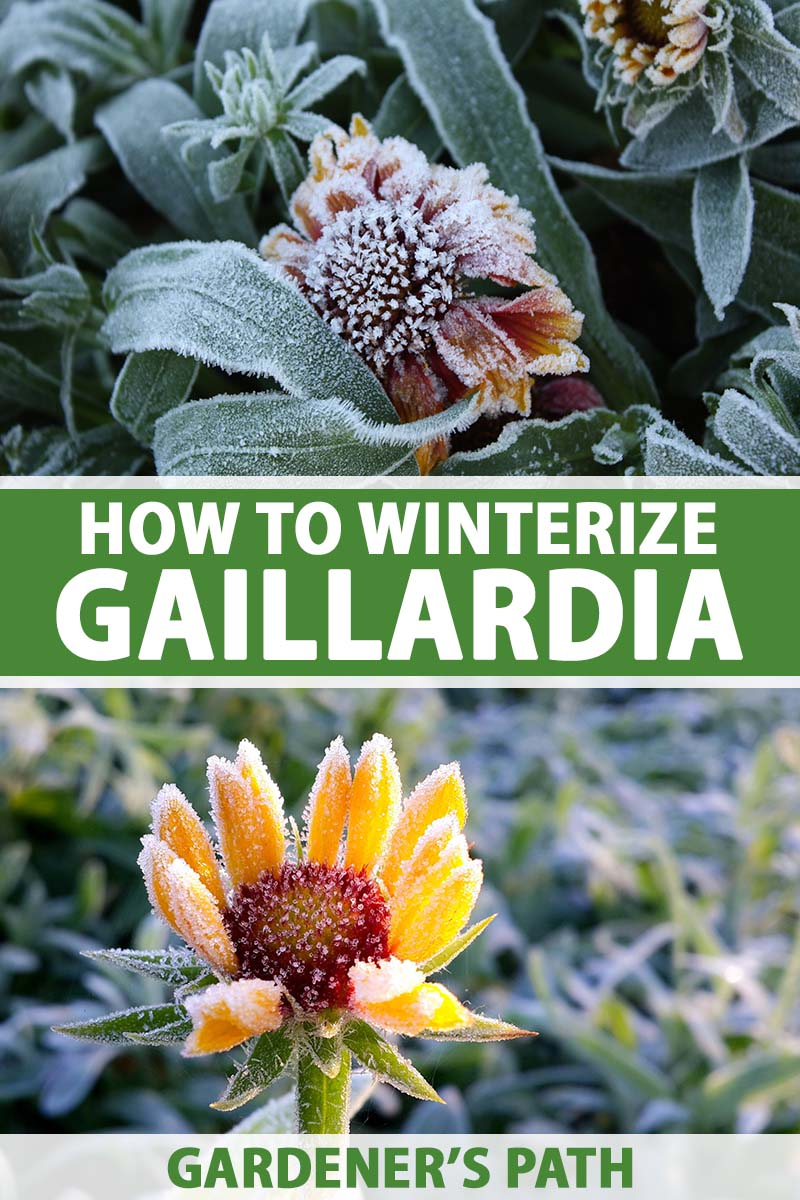 A vertical collage of two pictures, the top one is a plant covered in frost with a flower that is dying and the bottom is a bright yellow gaillardia flower with frost on the petals and in the background. To the center of the frame is green and white printed text.