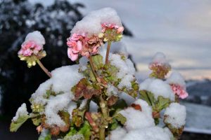 A close up horizontal image of a Pelargonium x hortorum plant covered in a light dusting of snow pictured on a soft focus background.